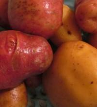 Картофель - целебное растение