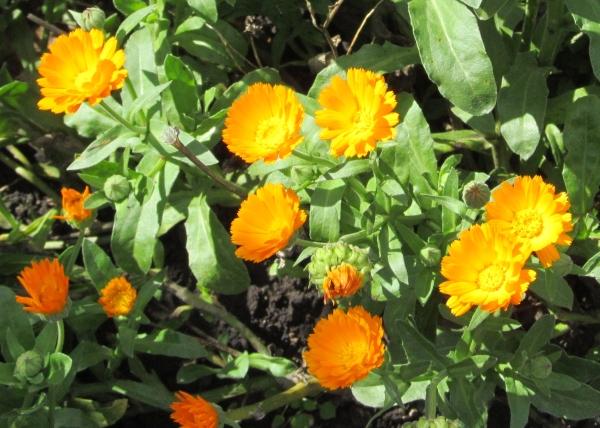 Цветы календулы