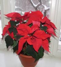Рождественская звезда - Пуансеттия