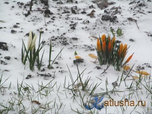 Крокусы и снег в марте