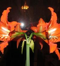 Гиппеаструм - мой мартовский цветок