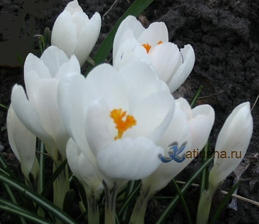 Крокус белый