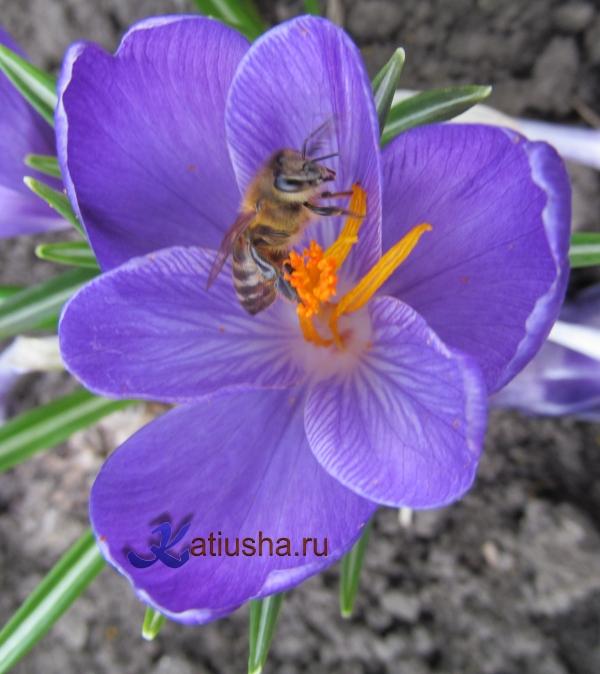 Крокус с пчёлкой