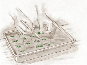 пикировка семян