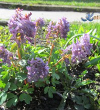 Хохлатка, первоцветы